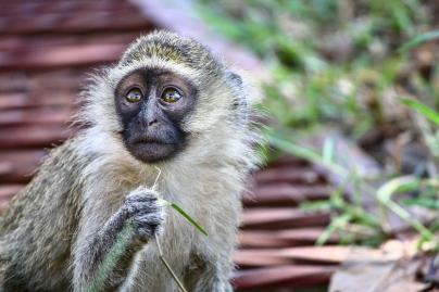Baby monkey with banana cravings