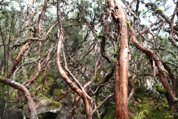 Drunken forest, Cajas NP